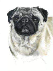 Peggy the adorable Pug