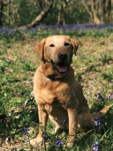 Photo of labrador in field